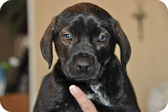 American Pit Bull Terrier Mix Puppy for adoption in West Palm Beach, Florida - Lena