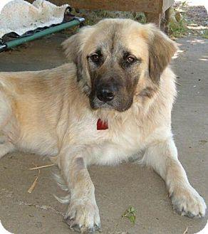 Anatolian Shepherd Mix Dog for adoption in Antioch, California - Zeus