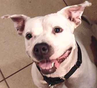American Bulldog/American Bulldog Mix Dog for adoption in Lithia, Florida - Punkin-17