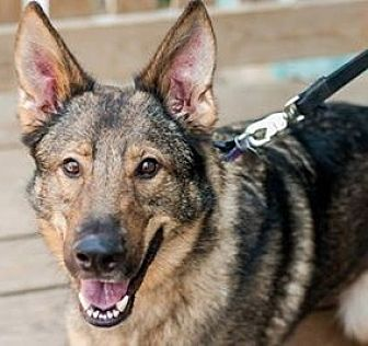 German Shepherd Dog Dog for adoption in Kansas City, Missouri - Zoltan
