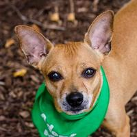 Adopt A Pet :: Babe - Itasca, IL