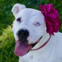 Adopt A Pet :: Lacy - LaBelle, FL