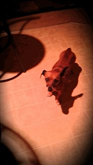Dachshund/Chihuahua Mix Dog for adoption in Palm Bay, Florida - Skippy