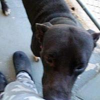 Adopt A Pet :: Midnight - Waycross, GA