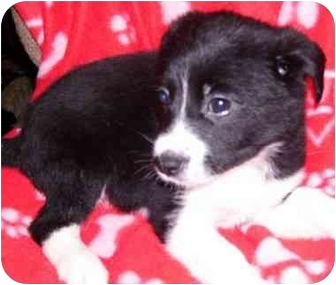 Beagle/Eskimo Spitz Mix Puppy for adoption in Coudersport, Pennsylvania - Zeus