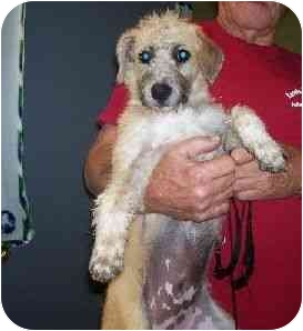 Terrier (Unknown Type, Medium)/Beagle Mix Puppy for adoption in Baltimore, Maryland - Kirby