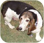 Basset Hound Dog for adoption in Phoenix, Arizona - Millicent