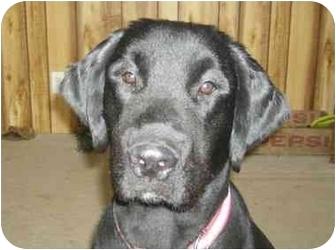 Newfoundland Mix Dog for adoption in Cincinnati, Ohio - Allis