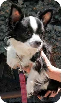 Chihuahua Mix Dog for adoption in Phoenix, Oregon - Sheba