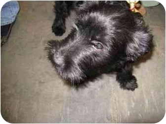 Terrier (Unknown Type, Medium) Mix Dog for adoption in Loudonville, New York - Dancer