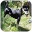 Photo 1 - Shepherd (Unknown Type)/Husky Mix Dog for adoption in Overland Park, Kansas - Elia
