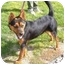 Photo 2 - Shepherd (Unknown Type)/Australian Cattle Dog Mix Dog for adoption in Rio Rancho, New Mexico - Cocoa