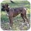 Photo 4 - Boxer Dog for adoption in Mocksville, North Carolina - Sadie