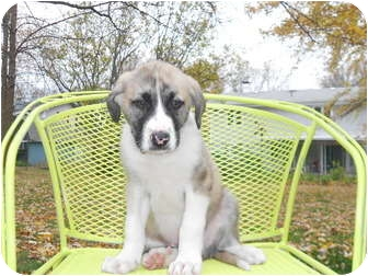 St. Bernard Mix Puppy for adoption in Hainesville, Illinois - Paddlefoot