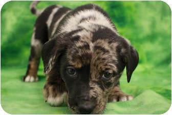 Australian Shepherd/Shepherd (Unknown Type) Mix Puppy for adoption in Broomfield, Colorado - Hannah Teter