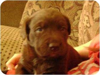 Labrador Retriever/Collie Mix Puppy for adoption in Lloydminster, Alberta - BRUNO