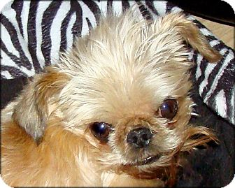 Brussels Griffon Dog for adoption in Lemont, Illinois - GUCCI - ADOPTION PENDING