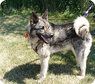 Norwegian Elkhound Mix Dog for adoption in South Haven, Michigan - Forest
