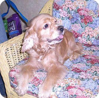 """Cocker Spaniel Dog for adoption in New Castle, Pennsylvania - """" Honey """""""