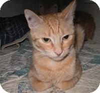 Domestic Shorthair Cat for adoption in Shelton, Washington - Little Lady