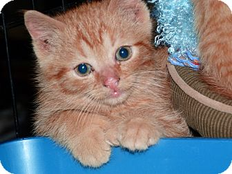 Domestic Shorthair Kitten for adoption in Stafford, Virginia - Henry
