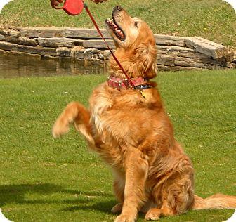 Golden Retriever Dog for adoption in Denver, Colorado - Murray