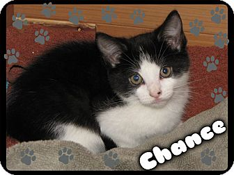 Domestic Shorthair Kitten for adoption in Washington, D.C. - Chance
