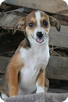 Rat Terrier Mix Puppy for adoption in Natchitoches, Louisiana - Daisy