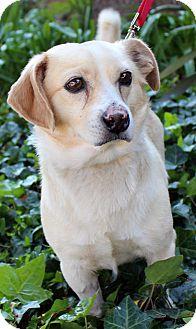 Dachshund/Chihuahua Mix Dog for adoption in Encino, California - Pumpkin