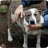 Adopt A Pet :: Drake  FOSTER NEEDED - Seattle, WA