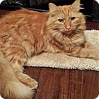 Domestic Mediumhair Cat for adoption in Tampa, Florida - Sebastian