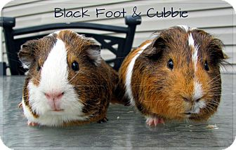 Guinea Pig for adoption in Union, Kentucky - Black Foot & Cubbie