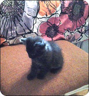 Domestic Mediumhair Kitten for adoption in Colville, Washington - Tumble