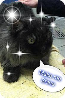 Domestic Mediumhair Cat for adoption in Rochester, New York - BINKY - ORPANED SENIOR SIBLING