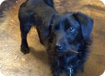 Terrier (Unknown Type, Small)/Schnauzer (Standard) Mix Dog for adoption in Austin, Texas - Chintzy