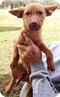 Feist Mix Puppy for adoption in Moulton, Alabama - Henry