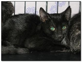 Domestic Shorthair Cat for adoption in Hamilton, New Jersey - REN