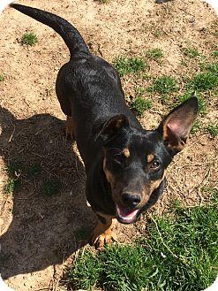 Rat Terrier Mix Dog for adoption in Powder Springs, Georgia - Goofy