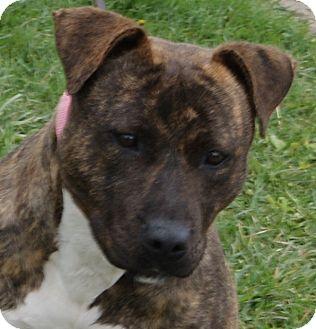 Pit Bull Terrier Mix Dog for adoption in Monroe, Michigan - Runa