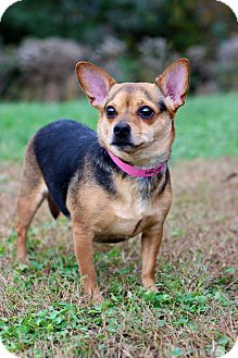 Chihuahua Mix Dog for adoption in Waldorf, Maryland - Katelyn