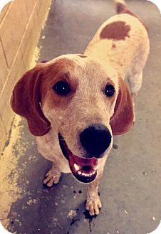 Hound (Unknown Type) Mix Dog for adoption in Greensburg, Pennsylvania - Bolt