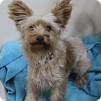 Adopt A Pet :: Ginger - Rockwall, TX