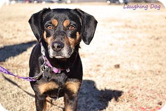 Beagle/Terrier (Unknown Type, Small) Mix Dog for adoption in Stillwater, Oklahoma - Sassy
