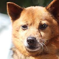 Shiba Inu/Pomeranian Mix Dog for adoption in Manassas, Virginia - Sayuri