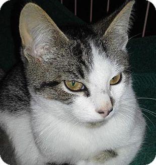 Domestic Shorthair Kitten for adoption in Fishkill, New York - Blitzen