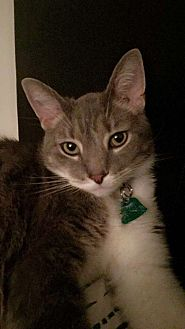 American Curl Cat for adoption in Dayton, Ohio - Pagero