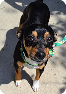 Miniature Pinscher Mix Dog for adoption in Michigan City, Indiana - Franky