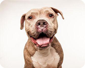 American Bulldog/Mastiff Mix Dog for adoption in Seattle, Washington - Astro