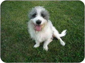 Petit Basset Griffon Vendeen Mix Dog for adoption in Troy, Michigan - Max