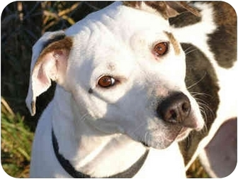 American Pit Bull Terrier/Hound (Unknown Type) Mix Dog for adoption in Peoria, Illinois - Sophia